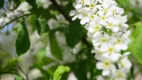 Il primo piano di fioritura della molla della ciliegia di uccello, rami della ciliegia di uccello bianca scuote nel vento archivi video