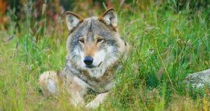 Il primo piano di grande lupo grigio del maschio adulto riposa nella foresta archivi video