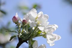 Il primo piano di di melo sboccia e foglie verdi fresche al sole del giorno soleggiato nella primavera Immagine Stock