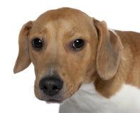 Il primo piano di Mixed-alleva il cane, 10 mesi Immagine Stock