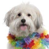 Il primo piano di Mixed-alleva il cane Fotografie Stock