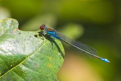 Il primo piano di piccolo viridulum con gli occhi rossi di Erythromma del damselfly si è appollaiato in una foresta fotografia stock