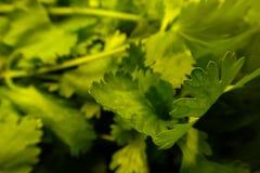 Il primo piano di prezzemolo verde grezzo va al mercato del ` s dell'agricoltore Immagine Stock