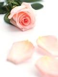 Il primo piano di un colore rosa morbido è aumentato immagini stock