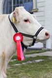 Il primo piano di un giovane molto piacevole assegna la mucca del vincitore Immagini Stock Libere da Diritti