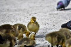 Il primo piano di un Gosling fotografia stock libera da diritti