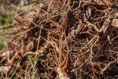 Il primo piano di un gruppo di caffè si è piantato nel groviglio disordinato nel suolo, che è preso dalla terra fotografia stock