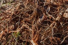 Il primo piano di un gruppo di caffè si è piantato nel groviglio disordinato nel suolo, che è preso dalla terra immagini stock