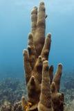 Il primo piano di un mazzo alto del tubo del tubo della stufa pulisce la crescita con una spugna dritto sulla barriera corallina Fotografie Stock Libere da Diritti
