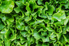 Il primo piano di un mazzo di insalata verde fresca e organica, lattuga ha fatto w fotografia stock libera da diritti