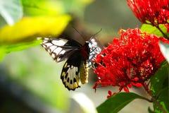 Il primo piano di un nero e di un rosso ha colorato la farfalla che si siede su un fiore rosso Immagini Stock