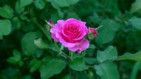 Il primo piano di un rosa è aumentato archivi video