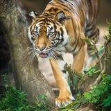 Il primo piano di una tigre siberiana inoltre sa come tigre dell'Amur Fotografia Stock