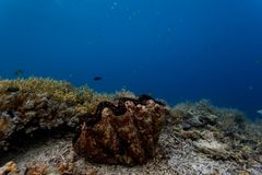 Il primo piano di una vongola gigante si è accoccolato in mezzo delle colonie di corallo di ramificazione sulla barriera corallin fotografia stock