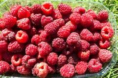 Il primo piano Fresco-ha selezionato la frutta del lampone in un canestro sul prato inglese Fotografia Stock