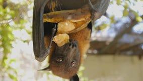 Il primo piano ha sparato del pipistrello della frutta che mangia la banana che appende sottosopra stock footage
