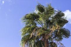 Il primo piano ha sparato della palma nella stagione di autunno con fondo blu Fotografia Stock
