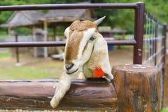 Il primo piano ha sparato della testa della capra nella gabbia con il envi dell'azienda agricola Immagine Stock