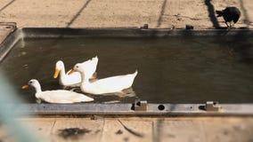 Il primo piano ha sparato delle anatre bianche che nuotano nell'acqua Cortile, giorno soleggiato, movimento lento video d archivio