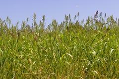 Il primo piano ha sparato delle piante della bacca di grano nell'ordine immagine stock libera da diritti