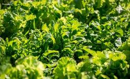 Il primo piano ha sparato di coltivare la lattuga verde fresca al giorno soleggiato Immagini Stock
