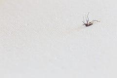 Il primo piano ha ucciso la zanzara Fotografie Stock Libere da Diritti
