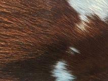 Il primo piano la lana della mucca, il colore del modello è bianco e marrone I fotografie stock libere da diritti
