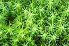 Il primo piano verde a forma di stella del muschio Immagini Stock