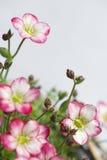 Il primo piano verticale della sassifraga muscosa bianca e rosa fiorisce Immagine Stock Libera da Diritti