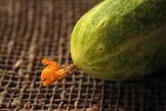 Il primo raccolto dei cetrioli raccolti sul suo diagramma domestico di inizio dell'estate cominciando gli agricoltori Immagine Stock Libera da Diritti