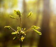 Il primo va su un ramo della foresta della cenere di montagna in primavera Fotografia Stock