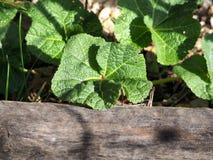 Il primo verde della malvarosa in primavera cronometra fotografie stock libere da diritti