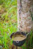 Il problema della gomma para che spilla durante la stagione delle pioggie Tapp Immagini Stock