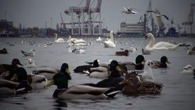 Il problema ecologico è cigni, anatre e gabbiani bianchi nelle acque del porto marittimo archivi video