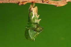 Il processo di 5/8) di farfalla di pupation ( Fotografie Stock