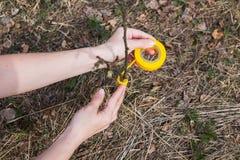Il processo di innesto degli alberi nel giardino fotografia stock