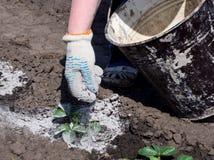 Il processo di trattamento dei germogli di piante con la cenere di legno per proteggere dai parassiti Fotografia Stock Libera da Diritti