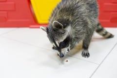 Il procione nello zoo e mangia le nocciole immagine stock libera da diritti