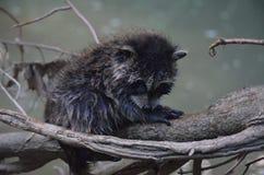 Il procione sveglio, adorabile & bagnato del bambino va nuotare Riposando sul ramo di albero fotografia stock
