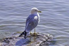 Il profilo dell'uccello anellato del gabbiano della fattura blu e bianca si è appollaiato su un roc Fotografia Stock