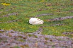 Il proprietario dell'Artide: orso polare, che felicemente Immagini Stock