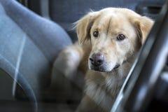 Il proprietario di attesa del cane in automobile Fotografia Stock Libera da Diritti