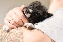 Il proprietario sta giocando con il suo giovane cucciolo di cane di Jack Russell e sta indossandolo cucciolo 7 Vecchio 5 settiman fotografia stock libera da diritti