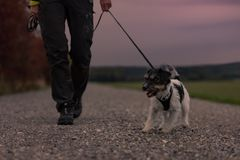 Il proprietario va con un cane che cammina in autunno nel crepuscolo con la torcia sentita - terrier di russell della presa immagini stock libere da diritti