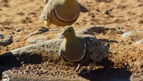 Il pterocle maschio strappa una bevanda e raccoglie l'acqua per i suoi pulcini Facendo uso di specialmente, ha adattato le piume  immagine stock libera da diritti