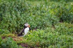 Il puffino delle isole di Farne cammina alla tana Immagine Stock Libera da Diritti