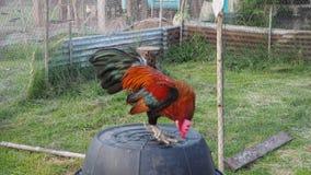 Il pulcino che del bantam mi sono alimentato era corvi del gallo nella sera archivi video