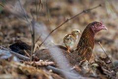 Il pulcino sul retro delle galline Fotografie Stock Libere da Diritti