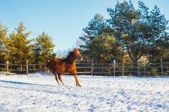 Il puledro arabo rosso esegue il galoppo lungo la terra di parata nell'addestramento Sta nevicando, ma la molla è venuto fotografia stock libera da diritti