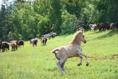 Il puledro che corre al gregge dei cavalli fotografia stock